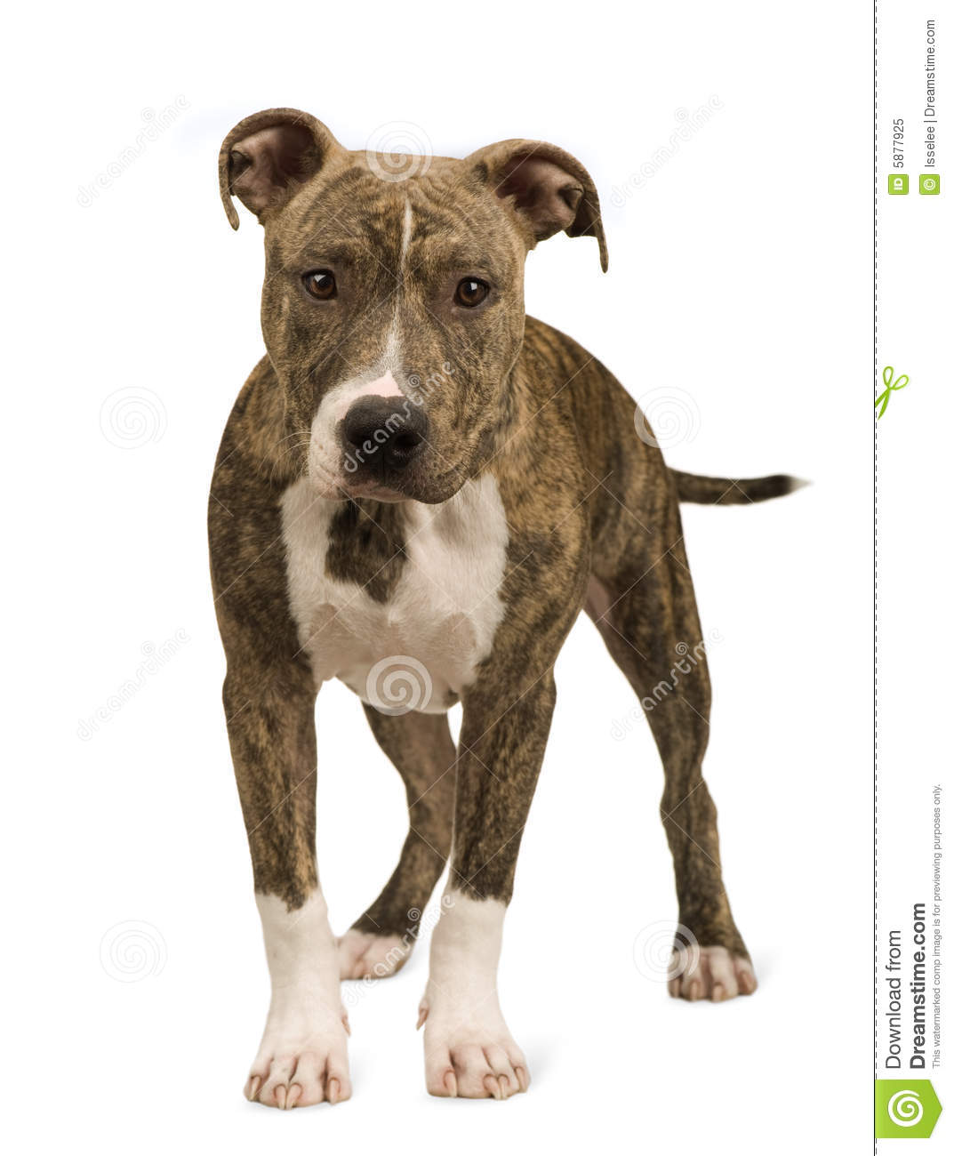 American Staffordshire terrier puppy (5 months) in front of a white ...