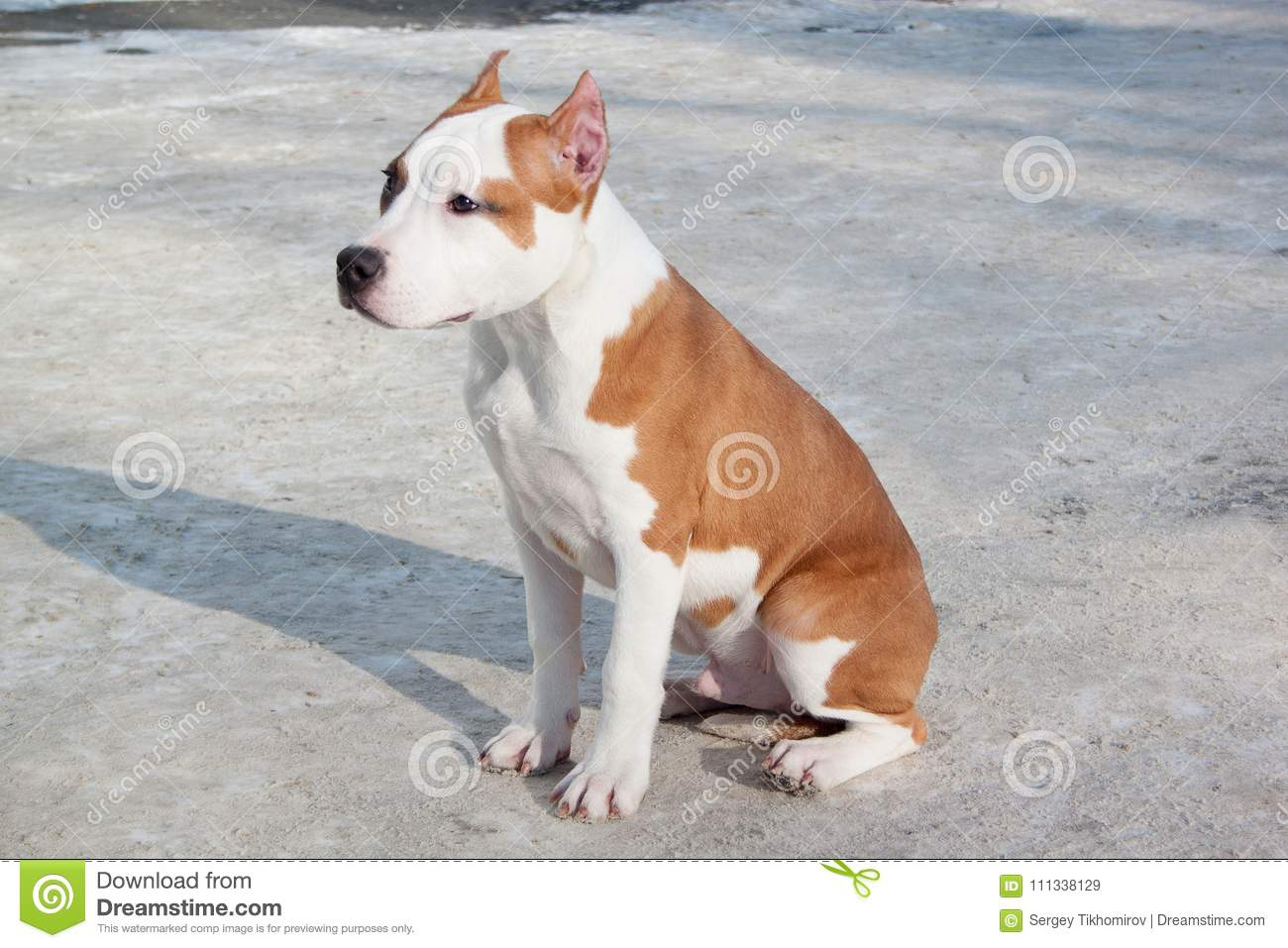 American Staffordshire Terrier Puppy Is Sitting On A White