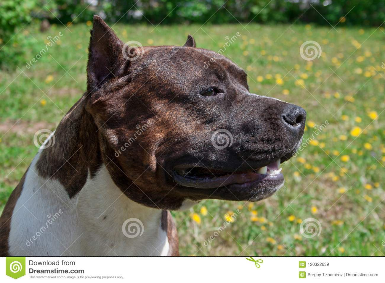 American Staffordshire Terrier Puppy Is Standing On A Green