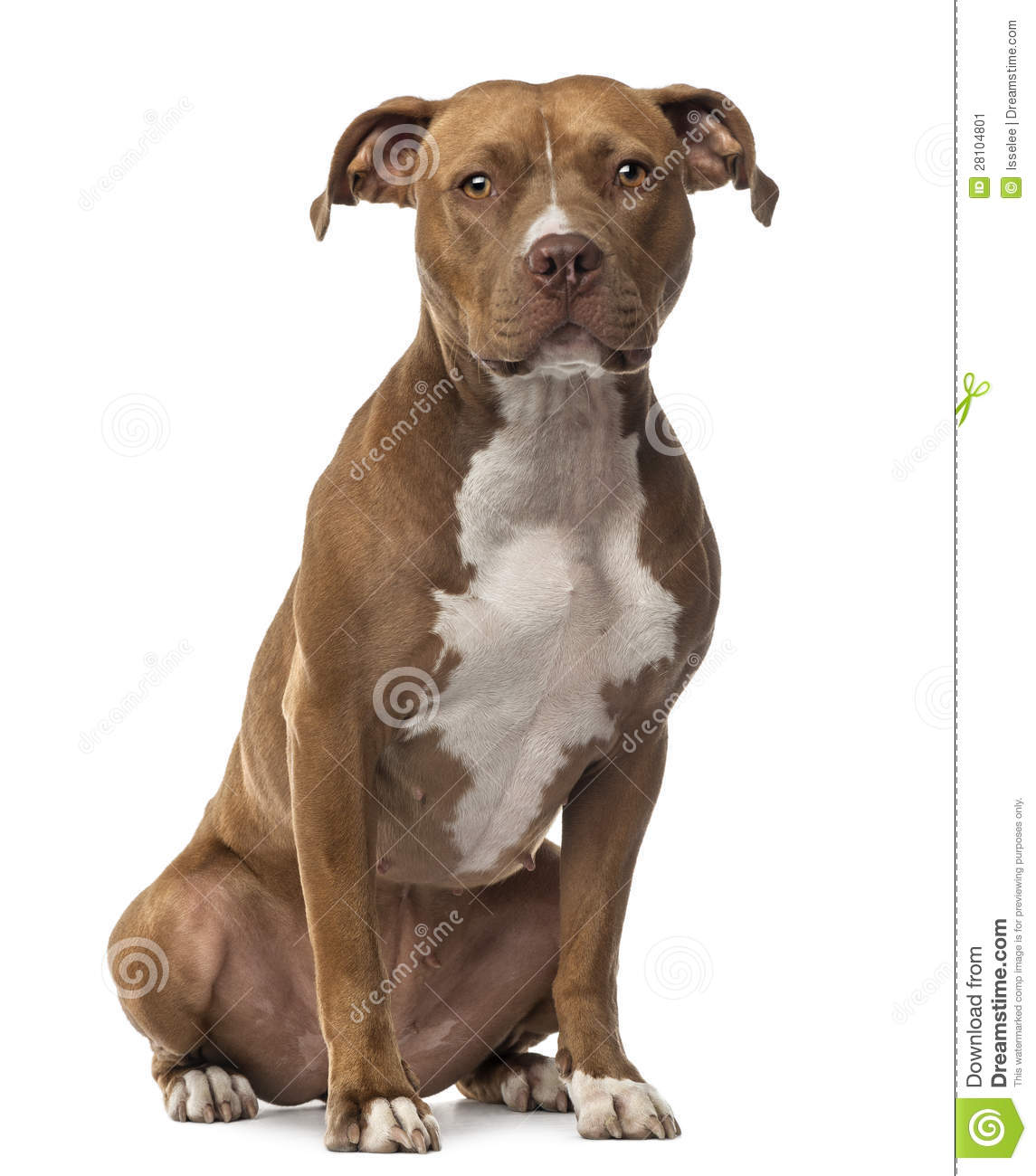 American Staffordshire Terrier sitting and looking at camera against ...