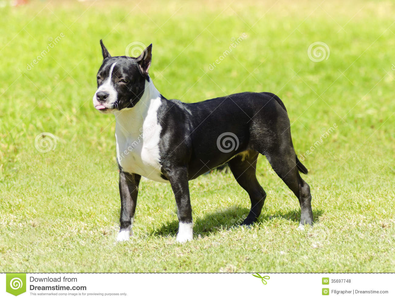 black american staffordshire terrier small amstaff gallery 9414