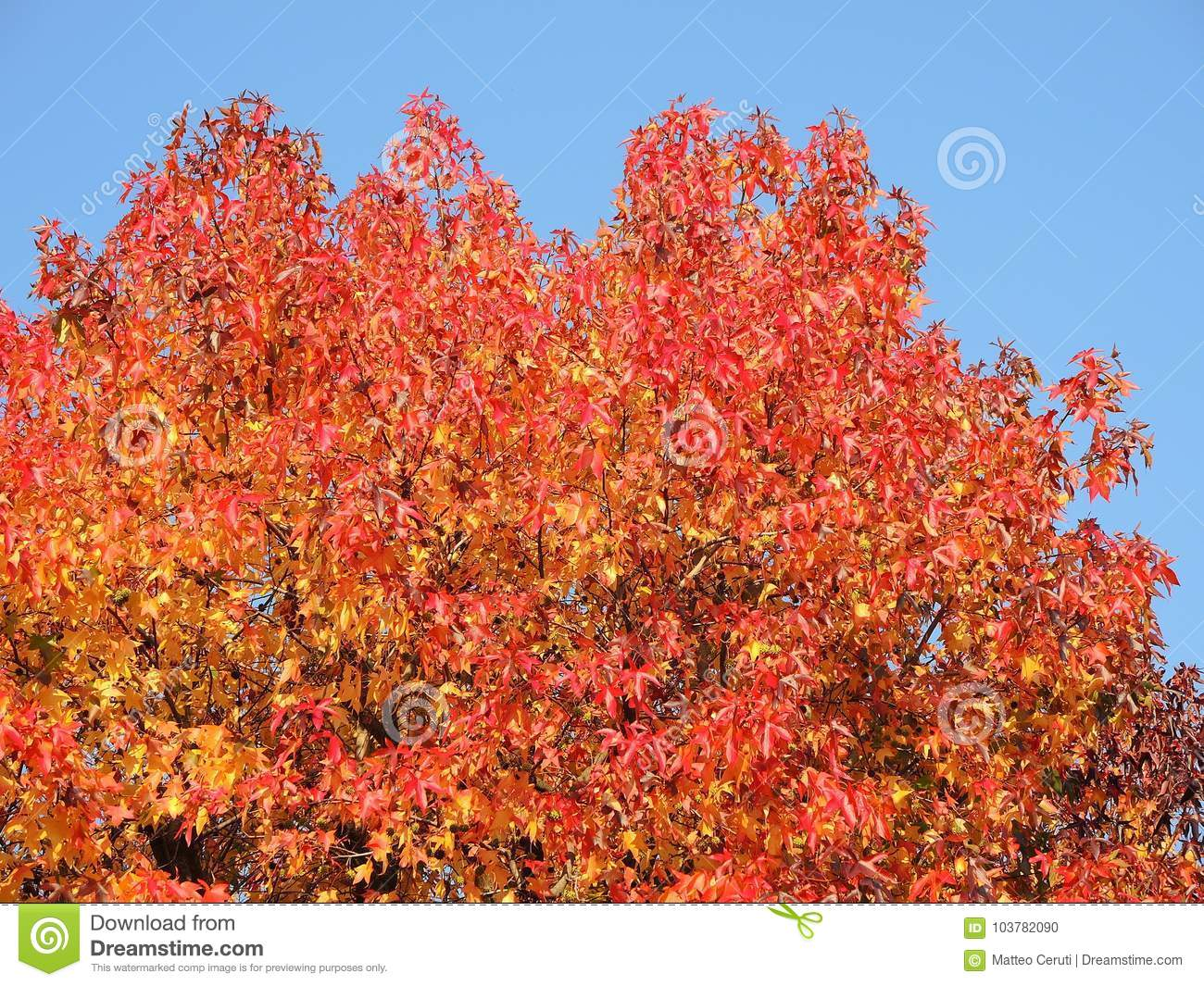 American sweetgum, in fall season with Its red, orange and yellow leaves