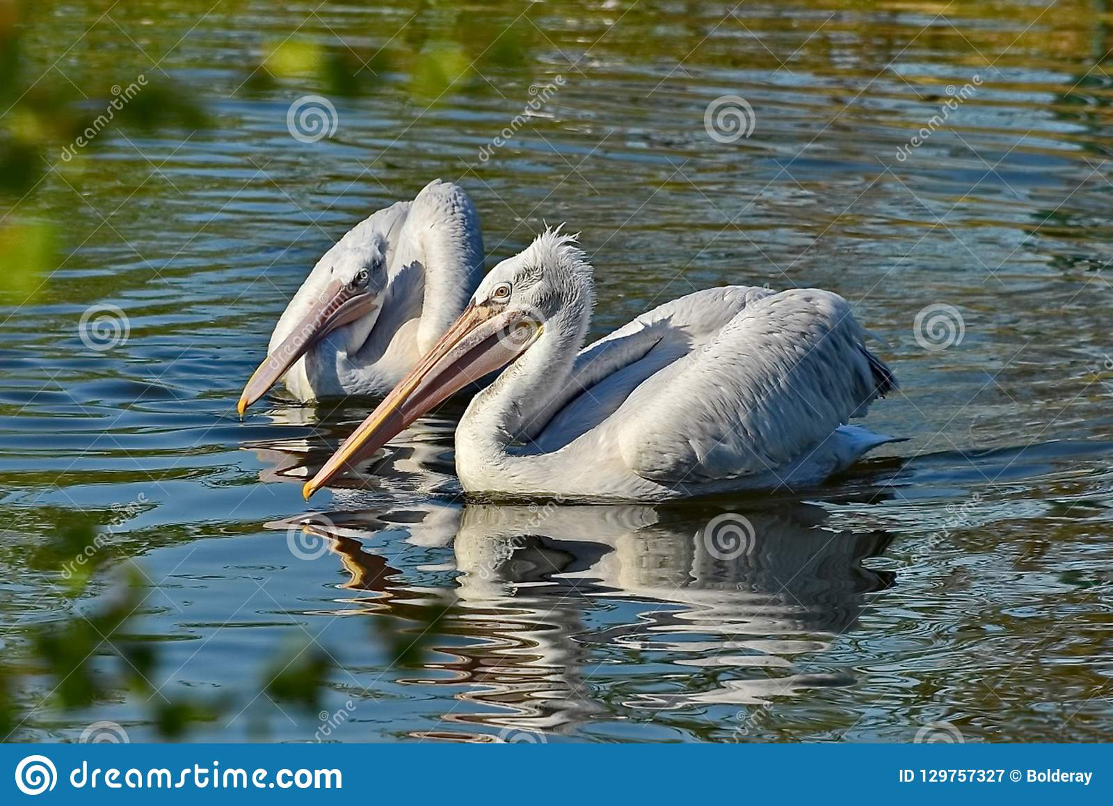 American white pelican Pelecanus erythrorhynchos. It breeds in interior North America, moving south and to the coasts