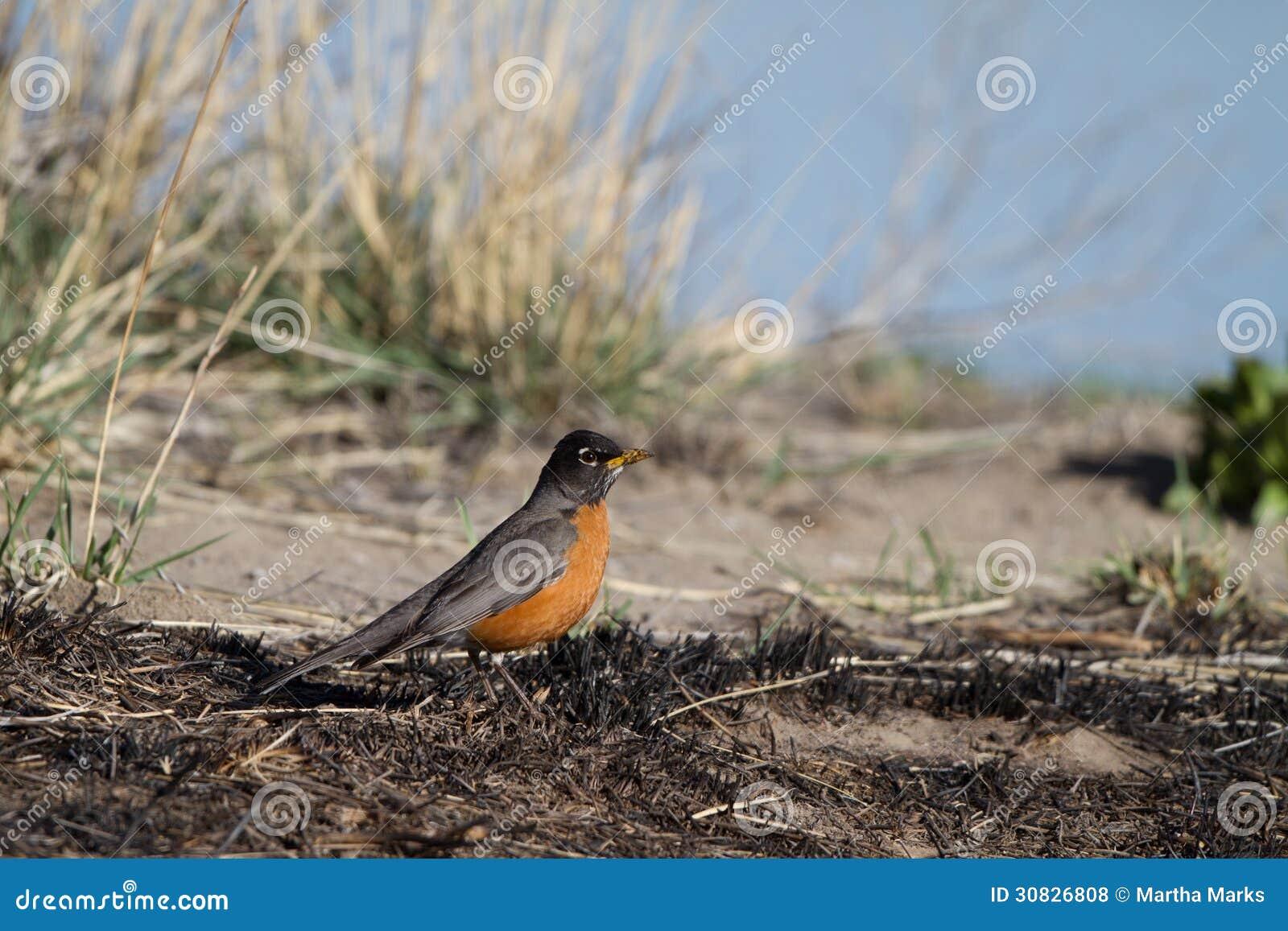 Americano Robin, migratorius del Turdus