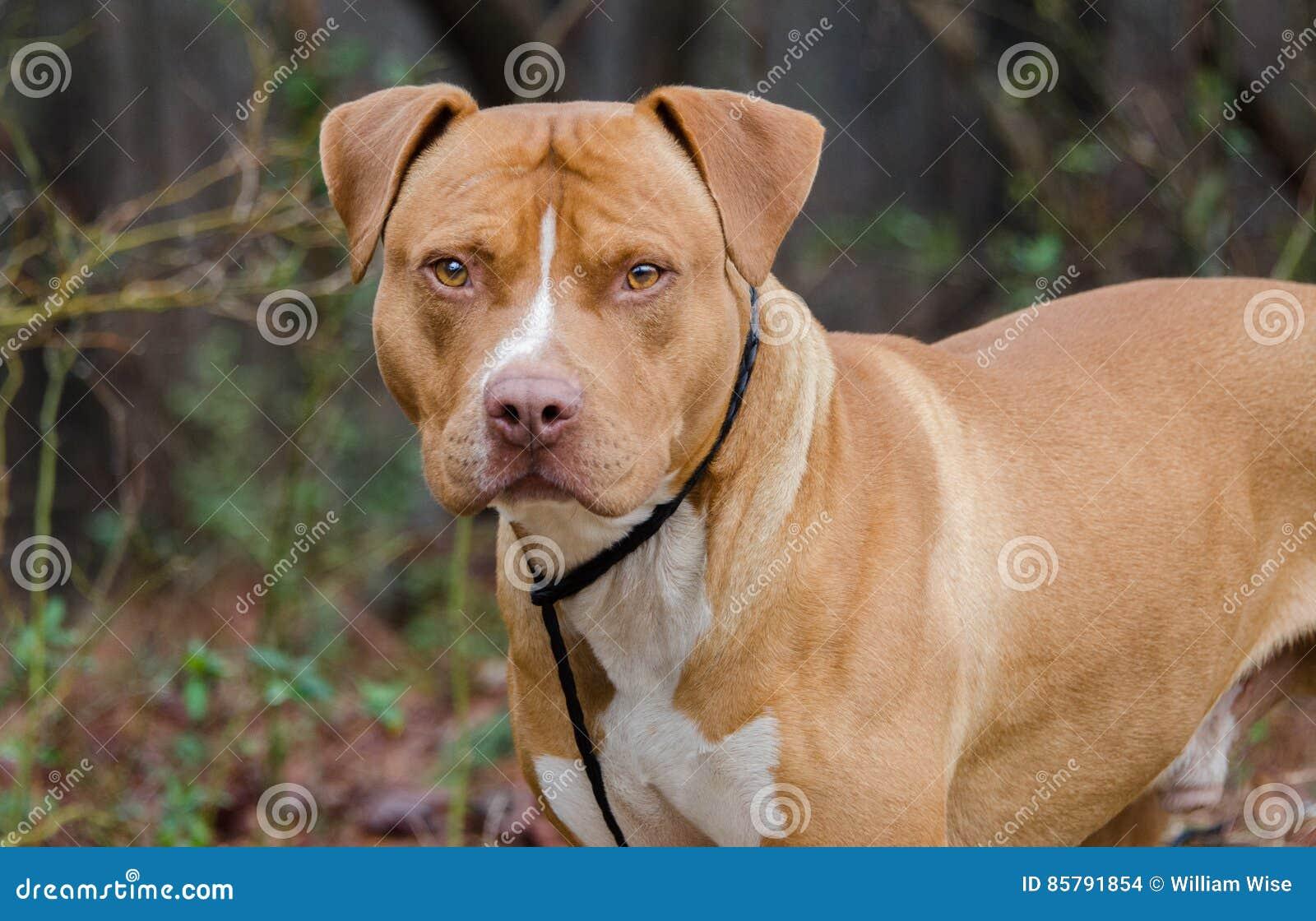 Americano rosso e bianco Staffordshire bull terrier