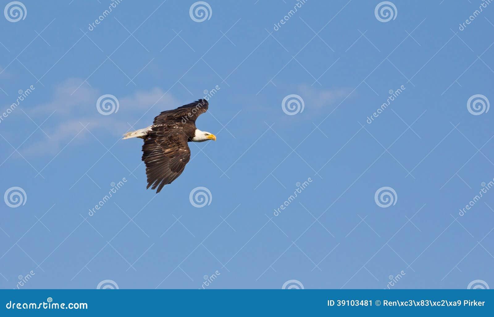 Amerikaans Eagle Gliding Through The Air