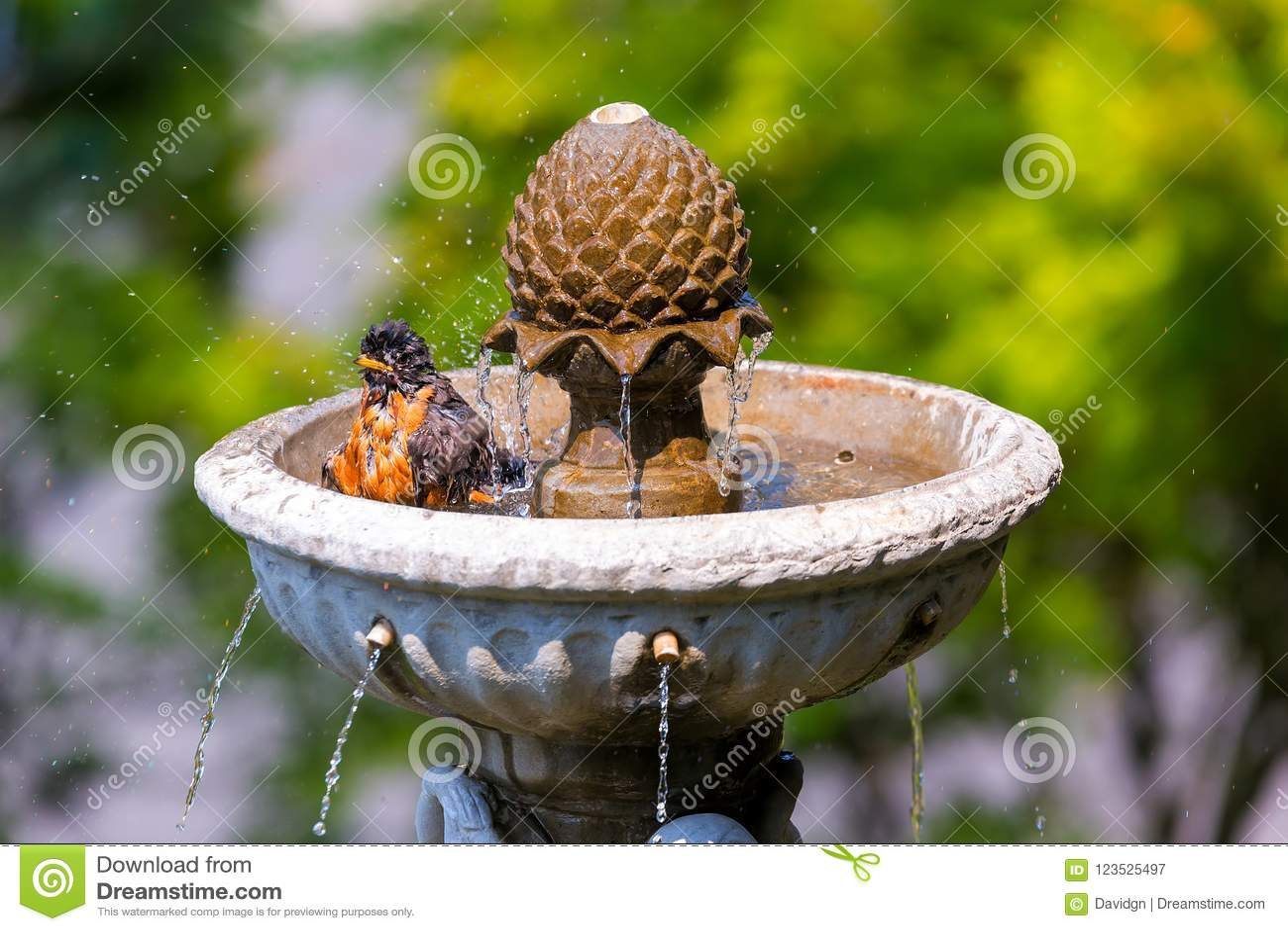 Amerikaans Robin Bathing in de Fontein van het Tuinwater