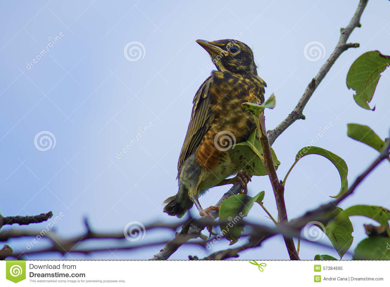 Amerikaans Robin Chick