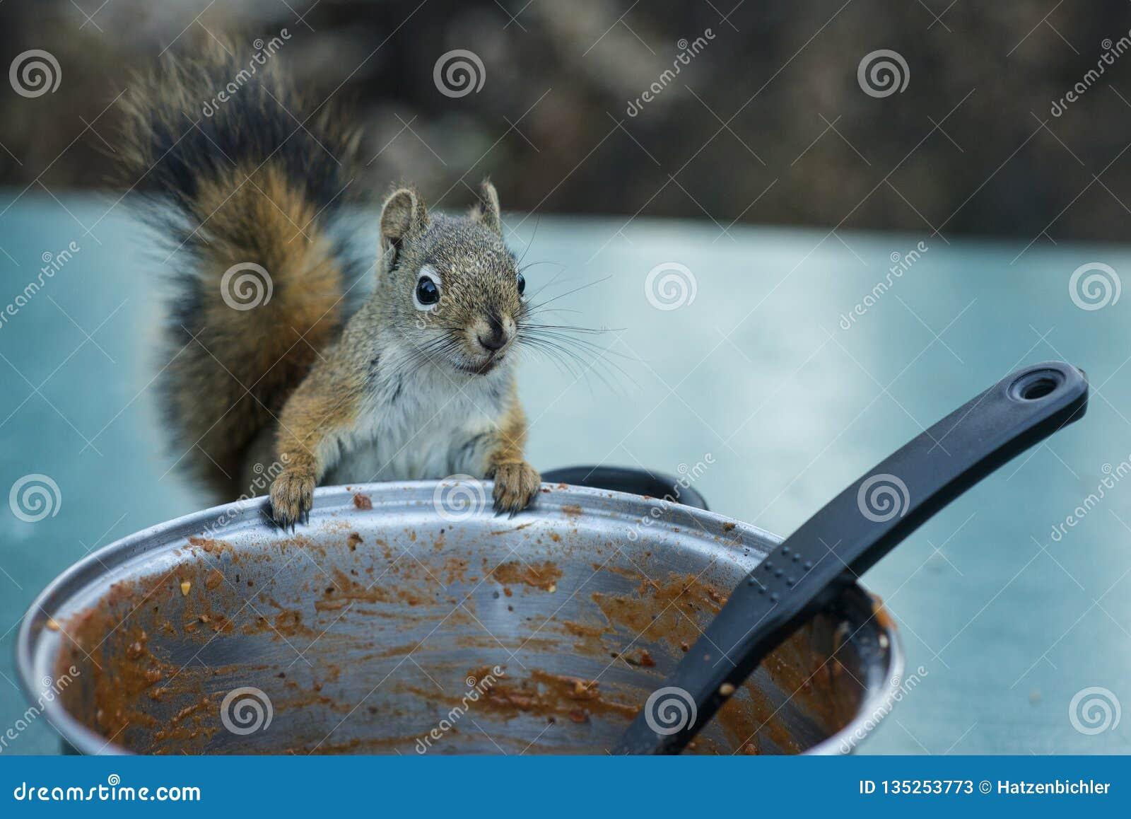 Amerikaans rood eekhoorn stealing voedsel
