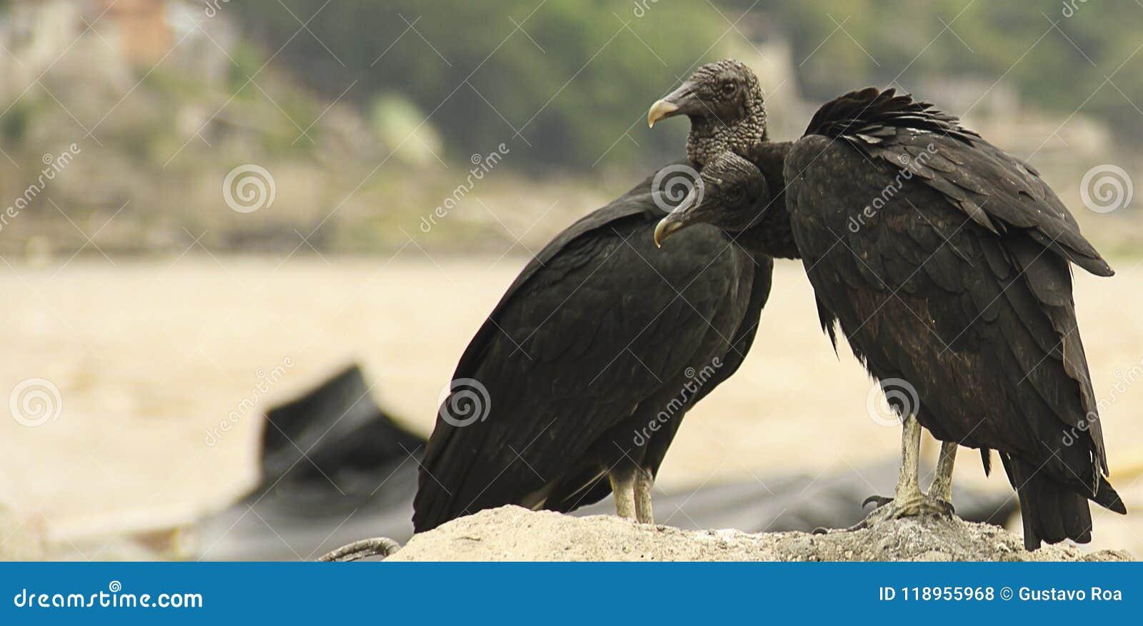 Amerikaans zwart gierpaar