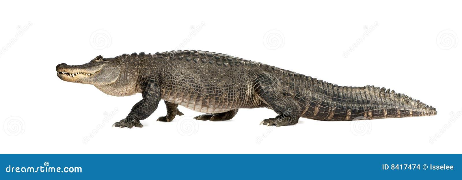 Amerikaanse Alligator (30 jaar) - Krokodillemississi