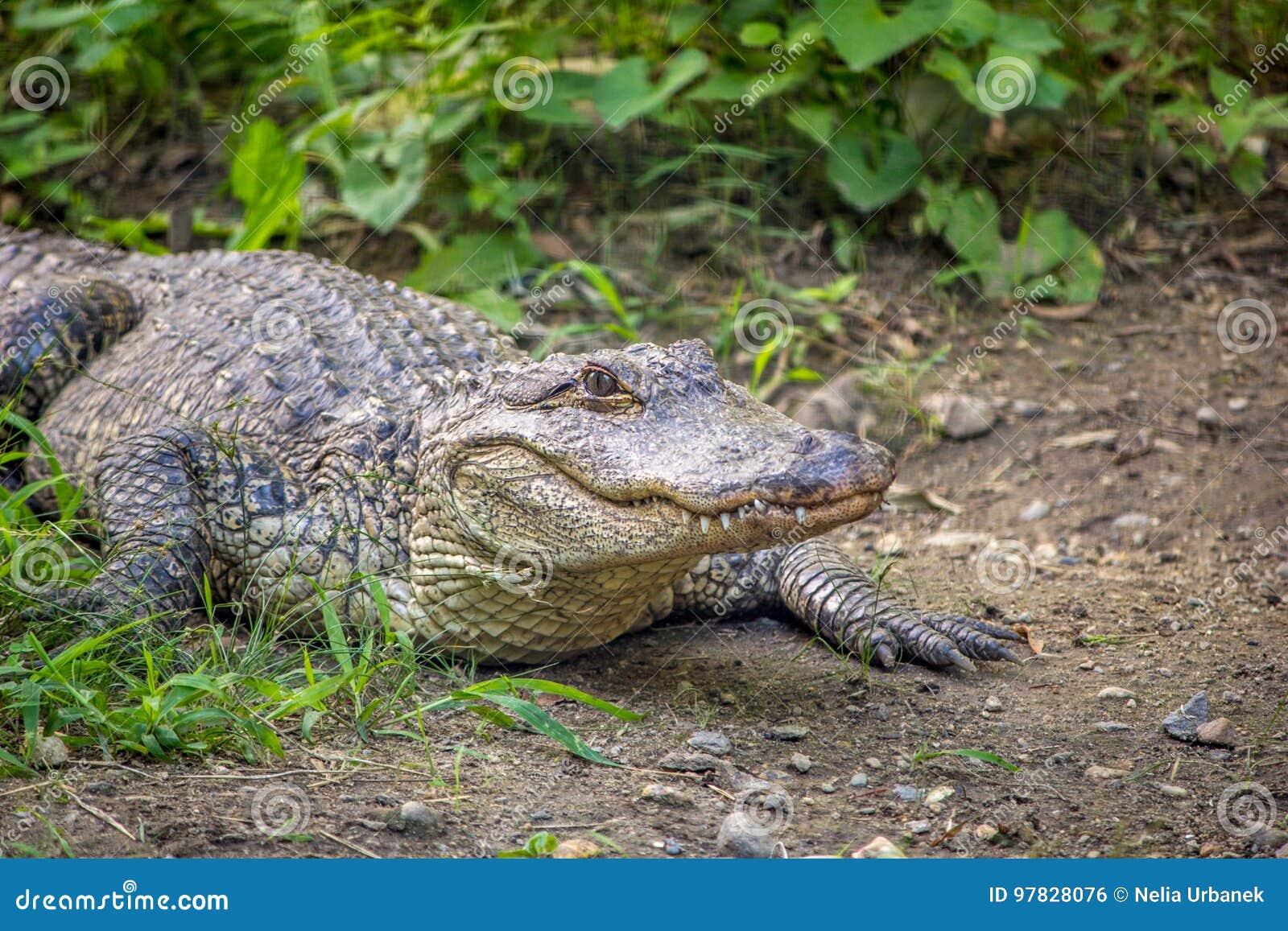 Amerikaanse Alligator dichtbij vegetatie