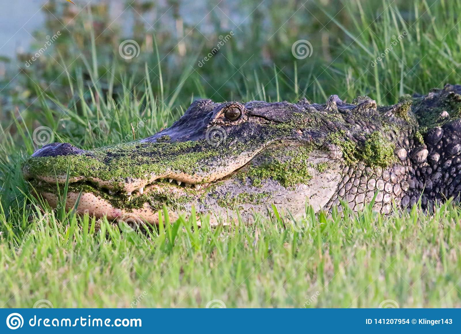 Amerikaanse alligator in Florida