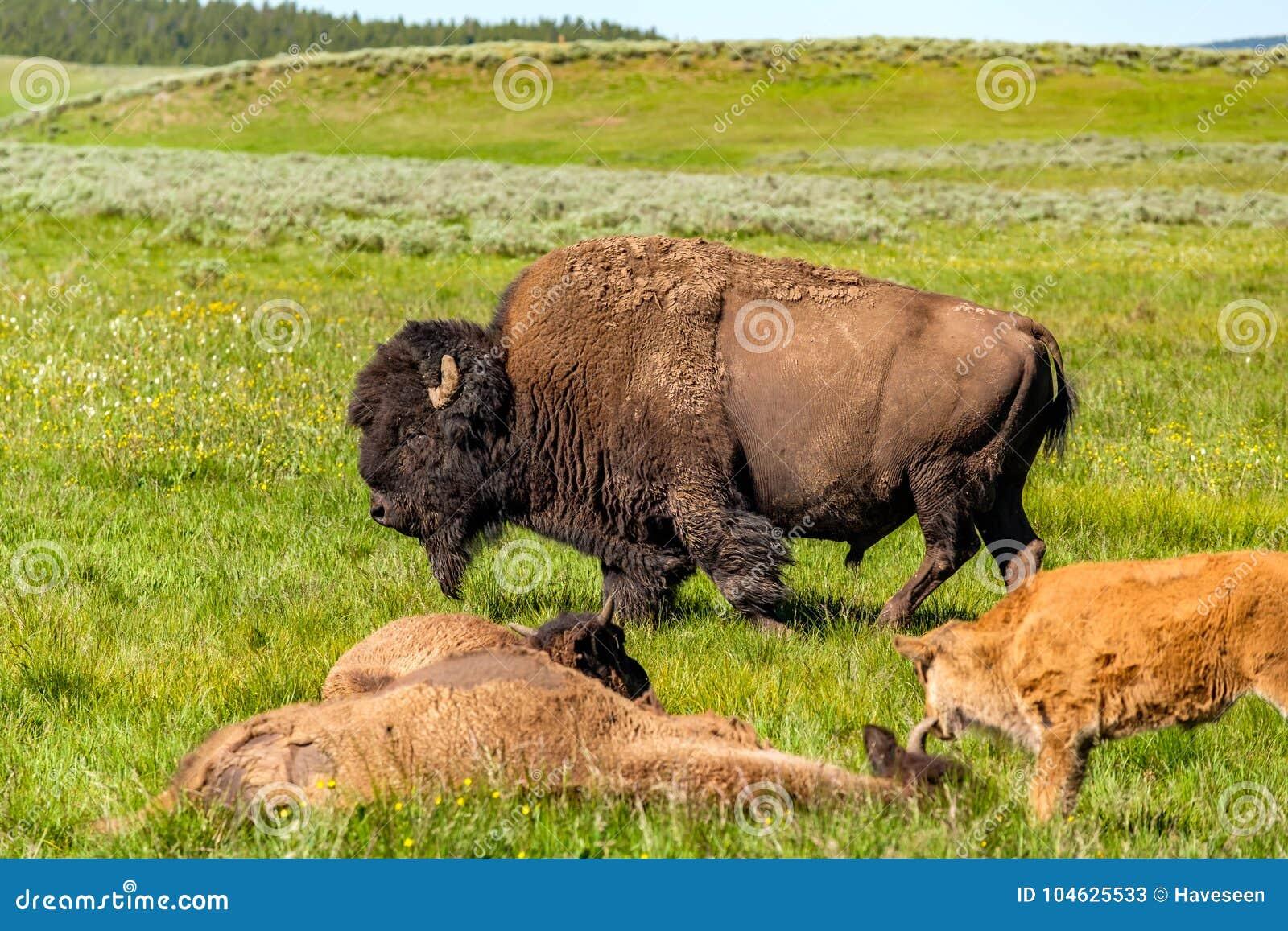 Download Amerikaanse Bizonfamilie In Yellowstone Stock Afbeelding - Afbeelding bestaande uit baby, summer: 104625533