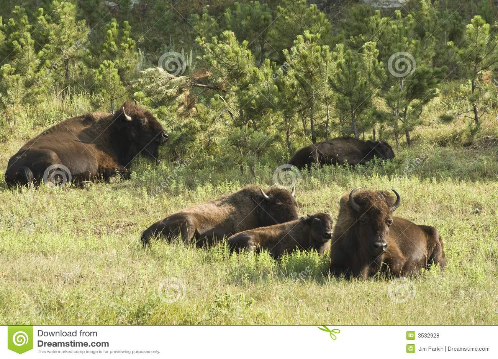 Amerikaanse Buffels 1