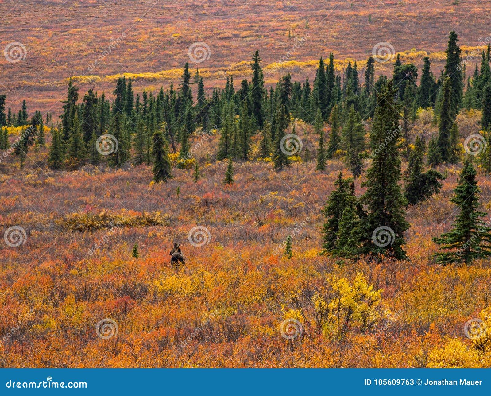 Amerikaanse elanden in Autumn Denali Tundra, het Nationale Park van Denali