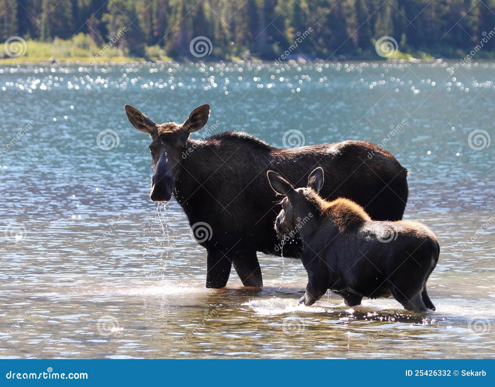 Amerikaanse elanden en Kalf bij het Nationale Park van de Gletsjer