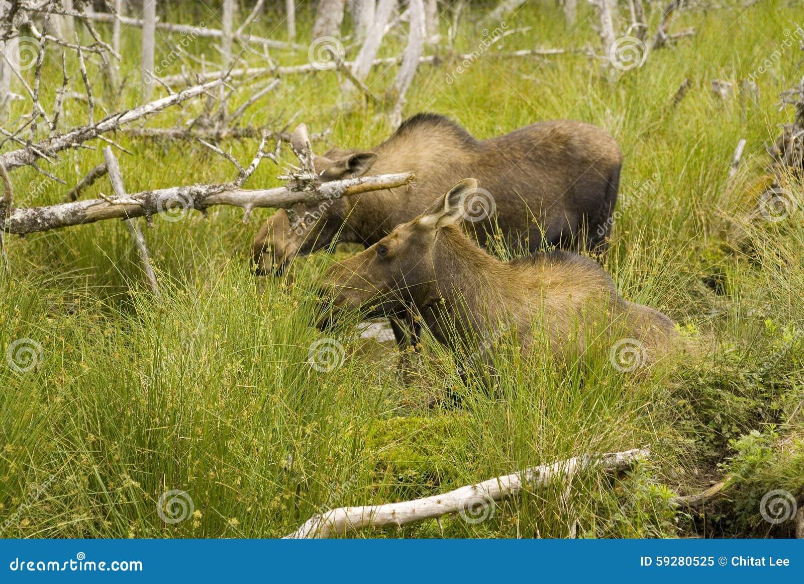 Amerikaanse elanden in Newfoundland