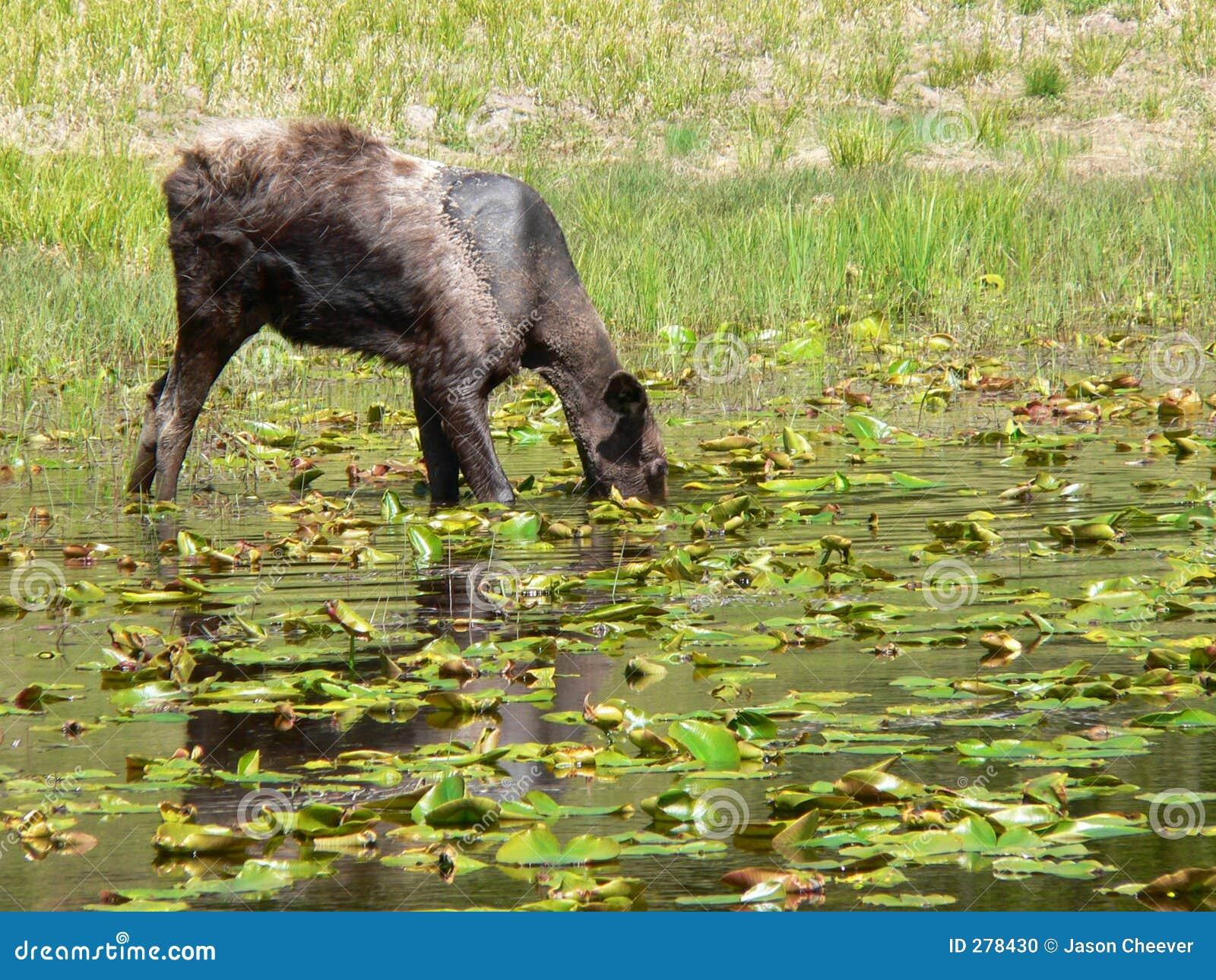 Amerikaanse elanden onder de Stootkussens van de Lelie