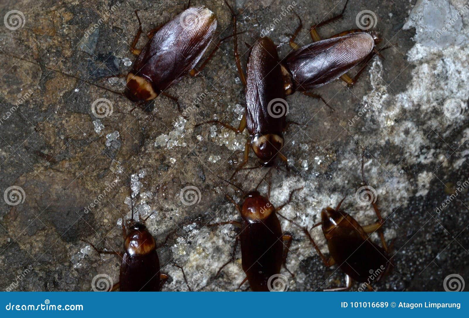 Amerikaanse kakkerlakken