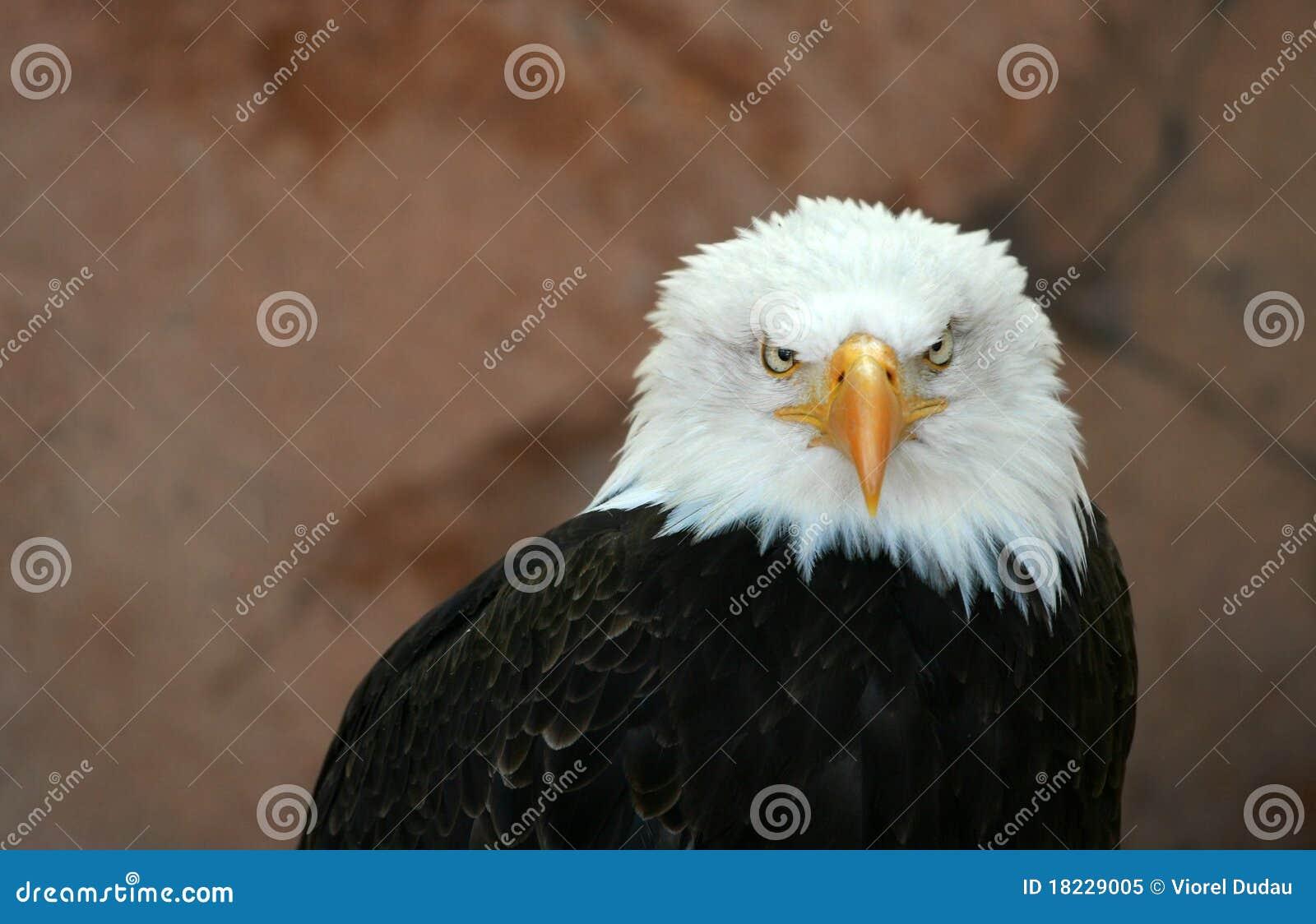 Amerikaanse kale adelaar