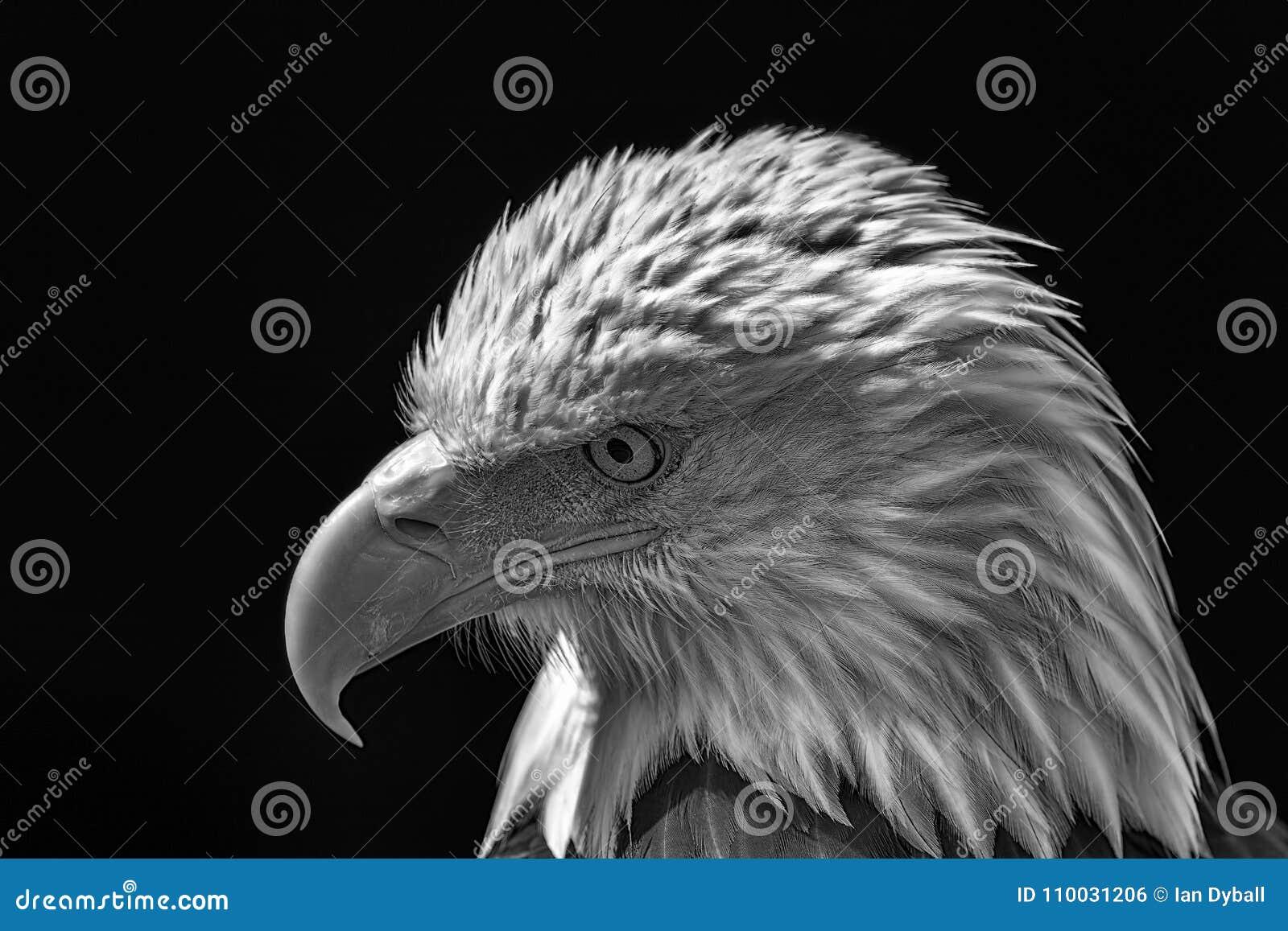 Amerikaanse kale adelaar Krachtige nationale de vogelmo van de hoog-contrastv.s.