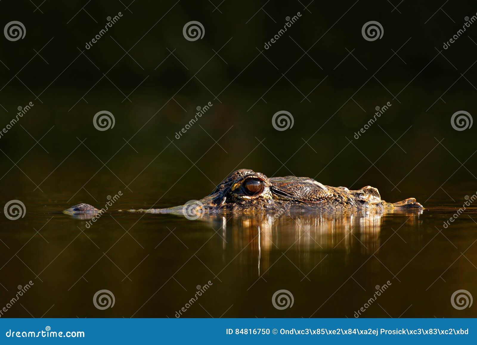 Amerikaanse Krokodille, Krokodillemississippiensis, NP Everglades, Florida, de V.S. Nog waterspiegel met krokodil Donker water me
