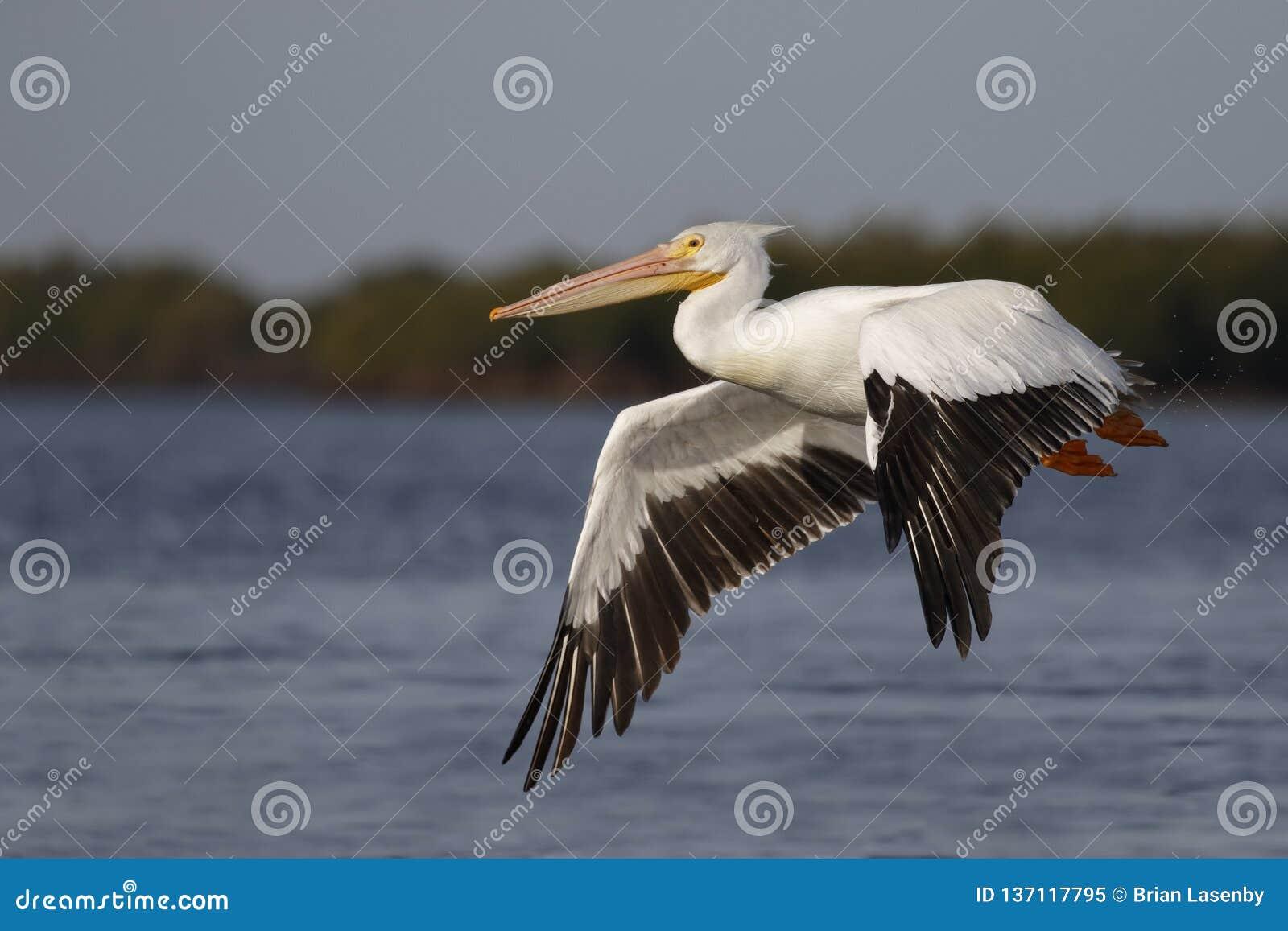 Amerikaanse Witte Pelikaan die vlucht over de Golf van Mexico - Florida nemen