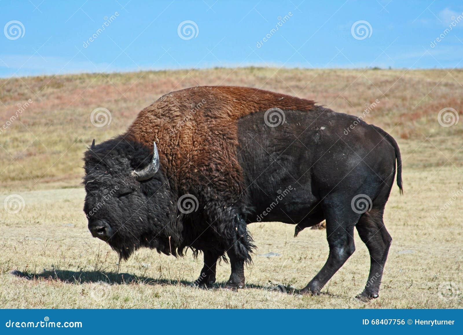 Amerikan Bison Buffalo Bull i Custer State Park