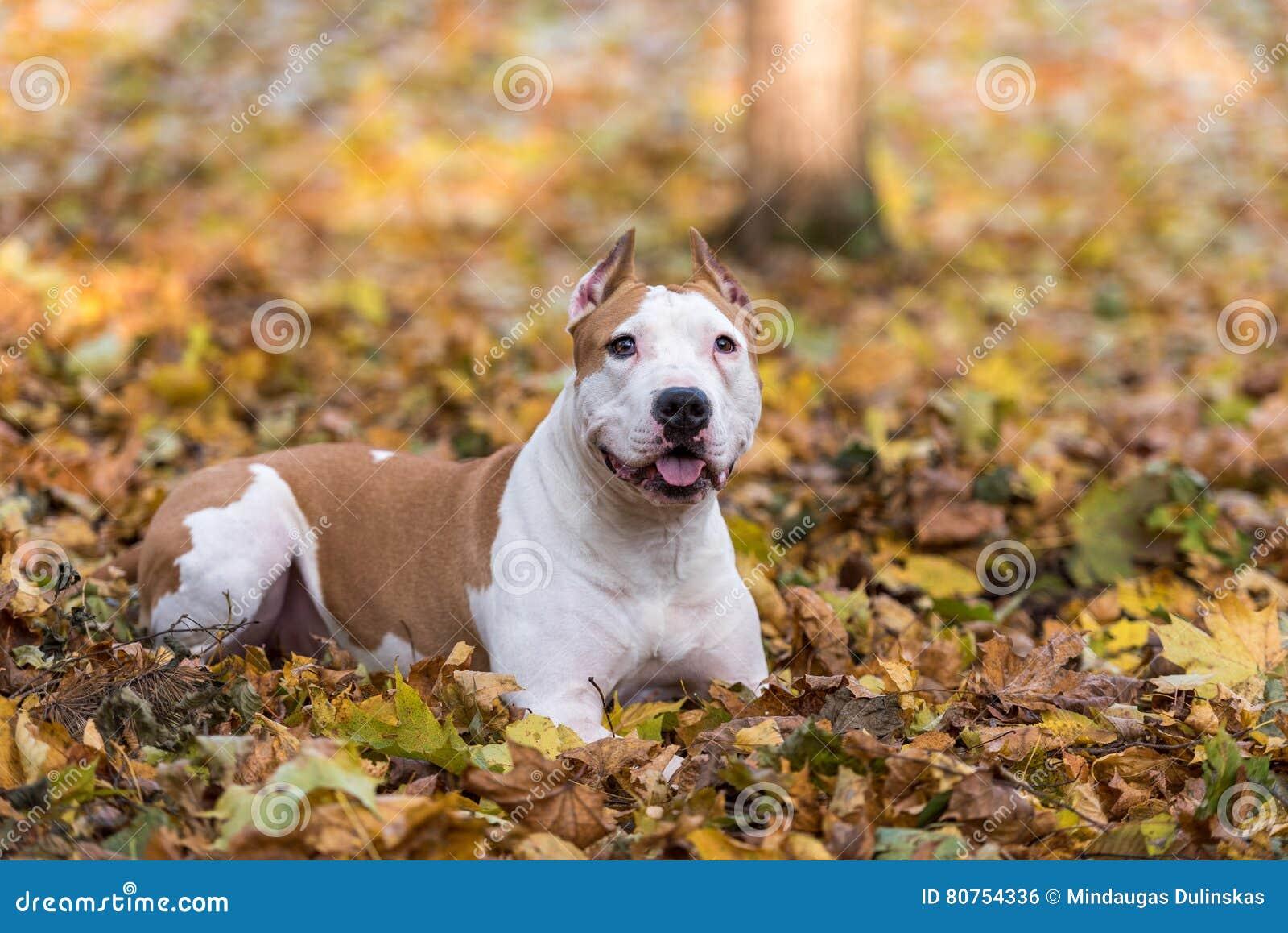 Amerikanische Bulldogge liegt aus den Grund
