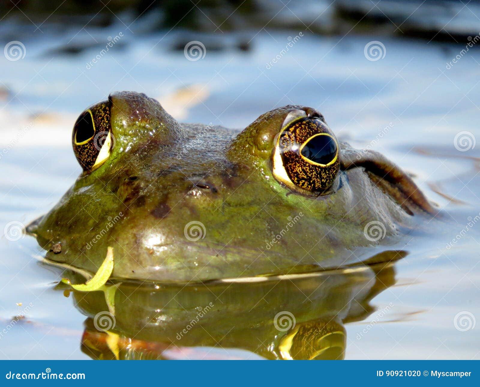 Amerikanische Ochsenfrosch-Augen