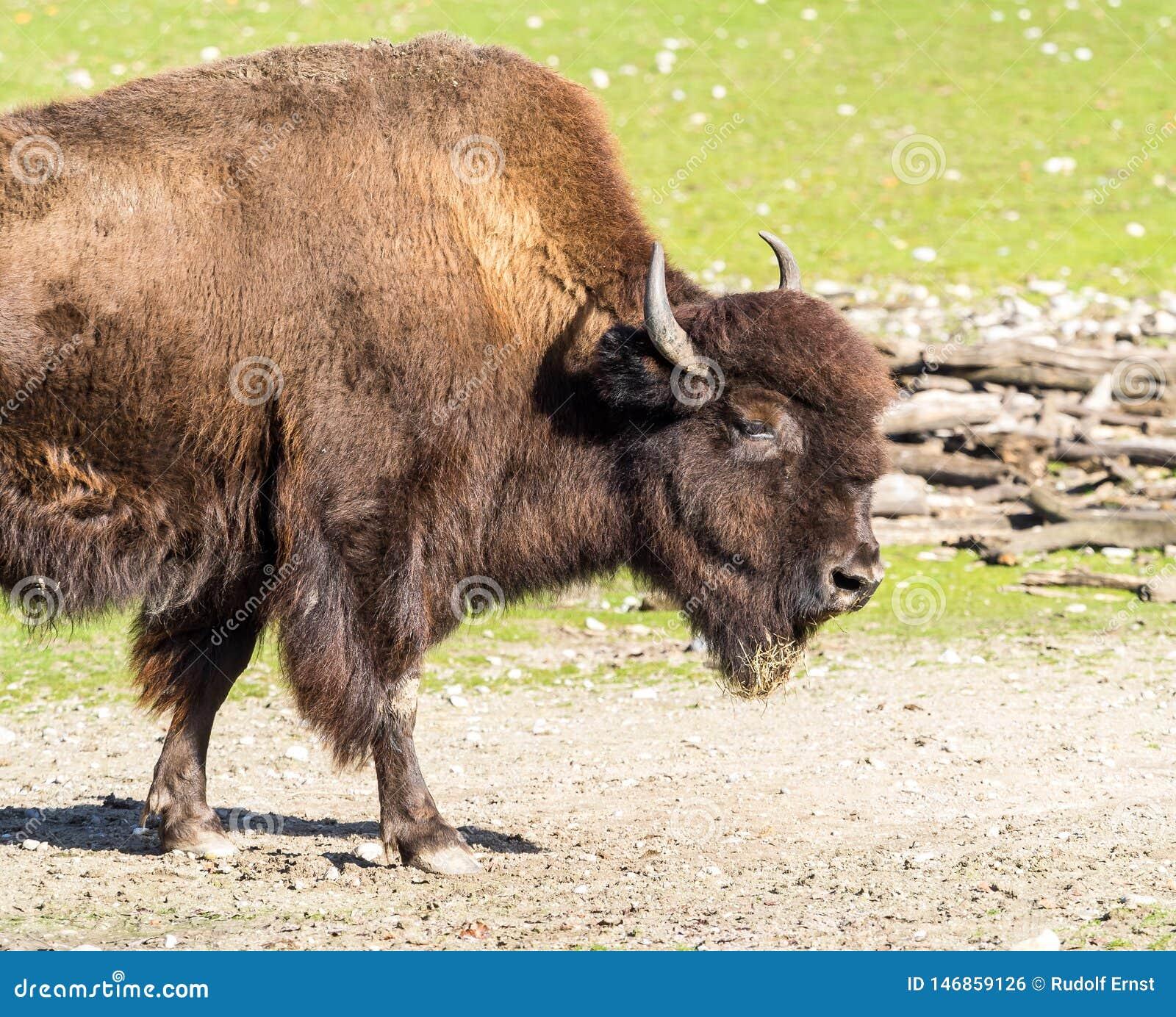 Amerikanischer B?ffel bekannt als Bison, Bosbison im Zoo