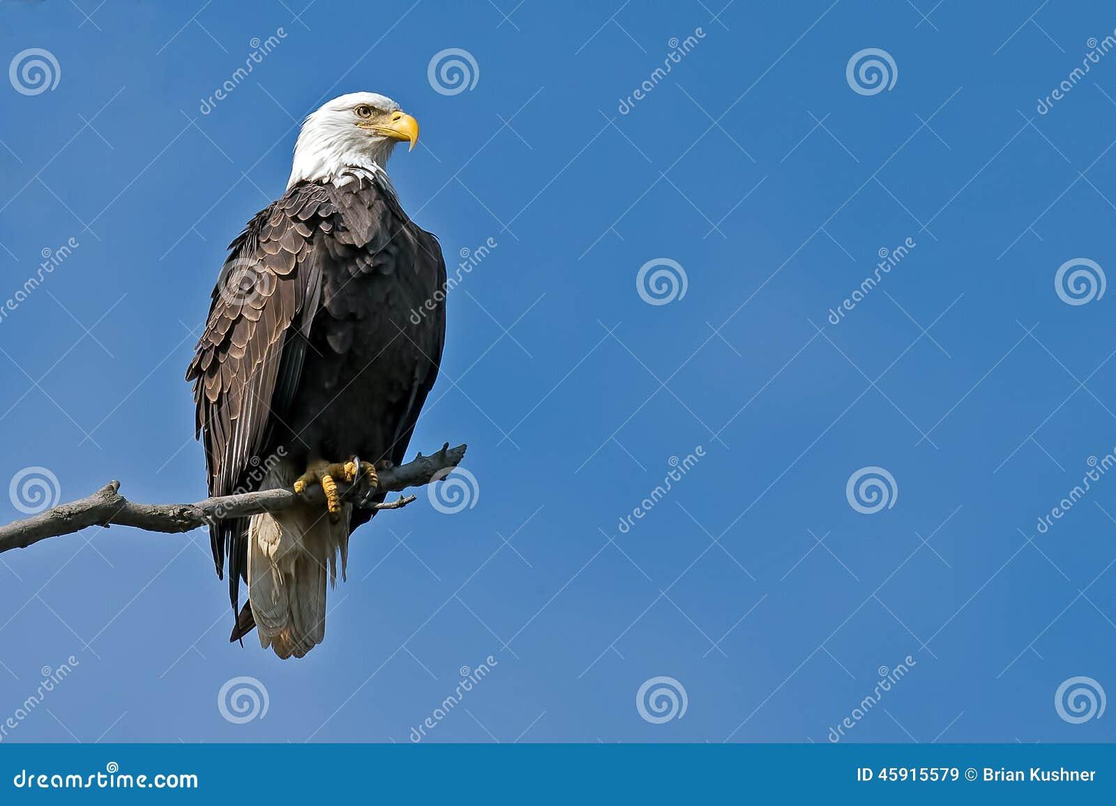 Amerikanischer kahler Adler