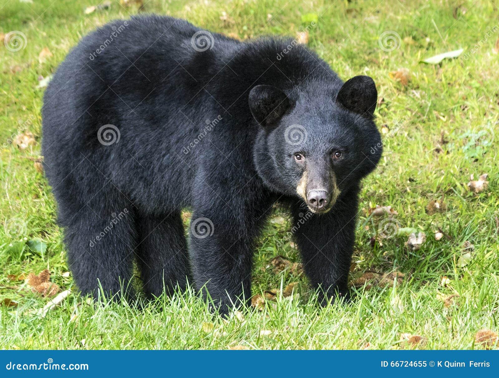 Amerikanischer schwarzer Bär