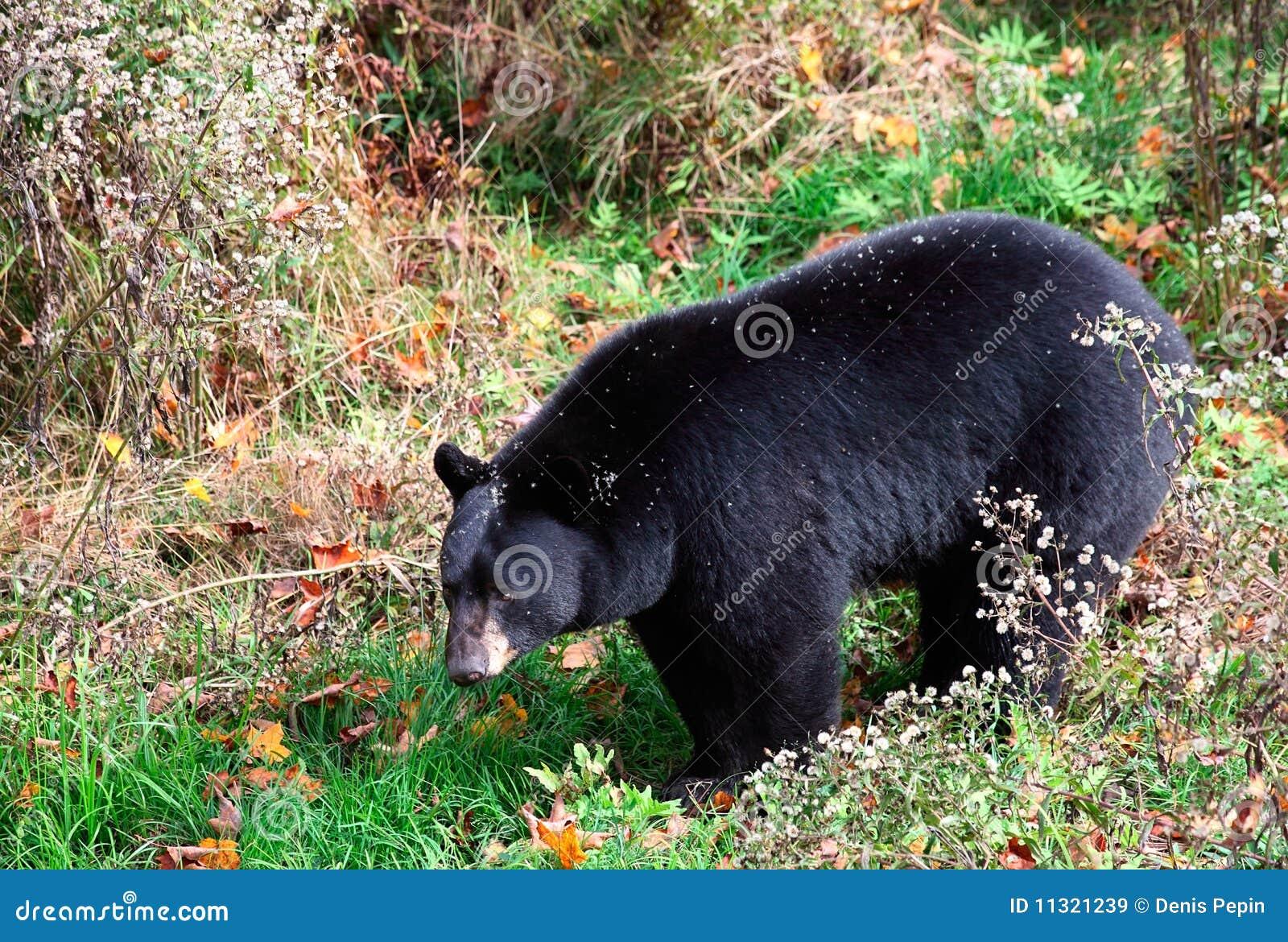 Amerikanischer schwarzer Bär, der durch Sträuche geht
