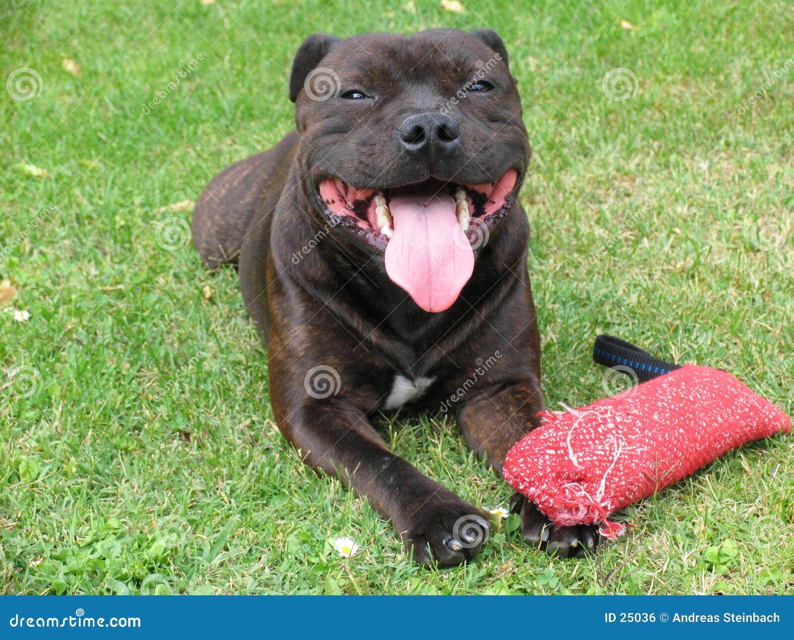 Amerikanischer Staffordshire-Terrier 1/2