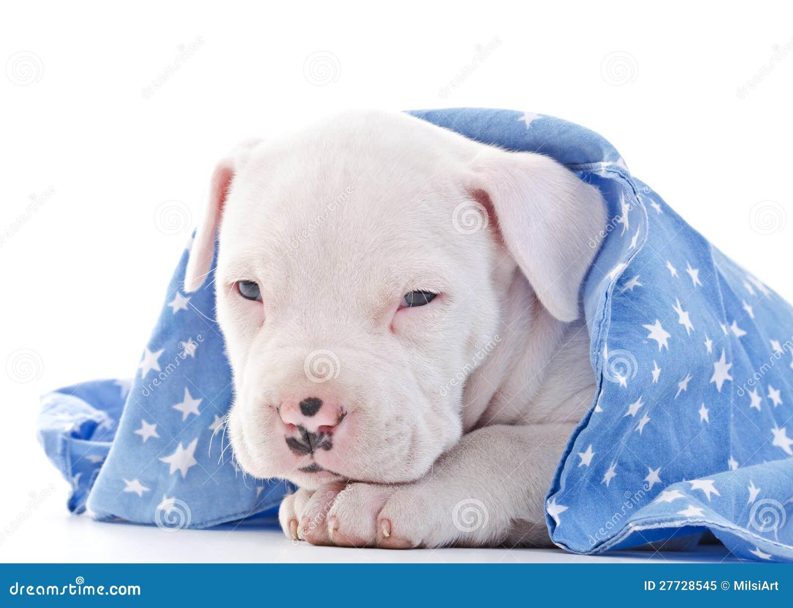 Amerikanischer Staffordshire-Terrier