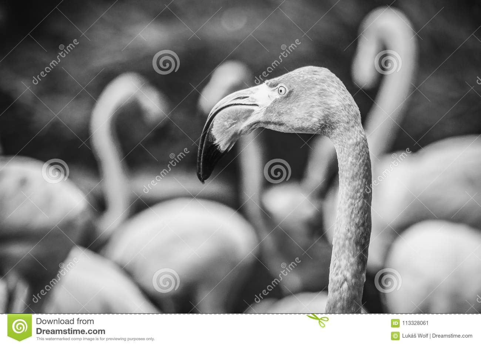 Amerikanisches Flamingo Phoenicopterus-ruber Schwarzweiss