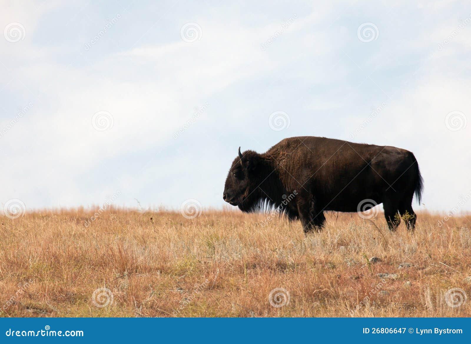 Amerikansk Bison
