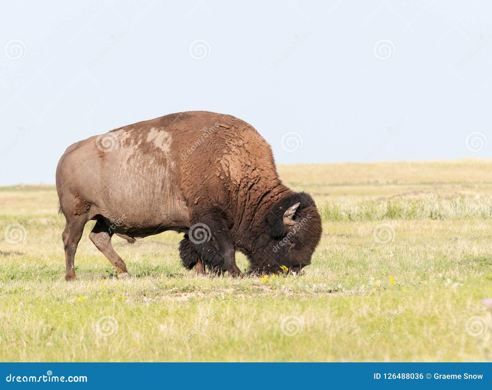 Amerikansk bison för vuxen man som betar på grässlätten, South Dakota, USA