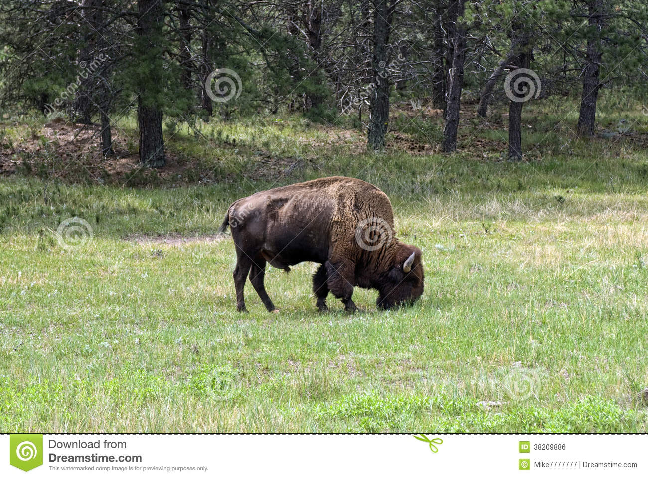Amerikansk bison på grässlätten, Custer State Park, South Dakota, USA