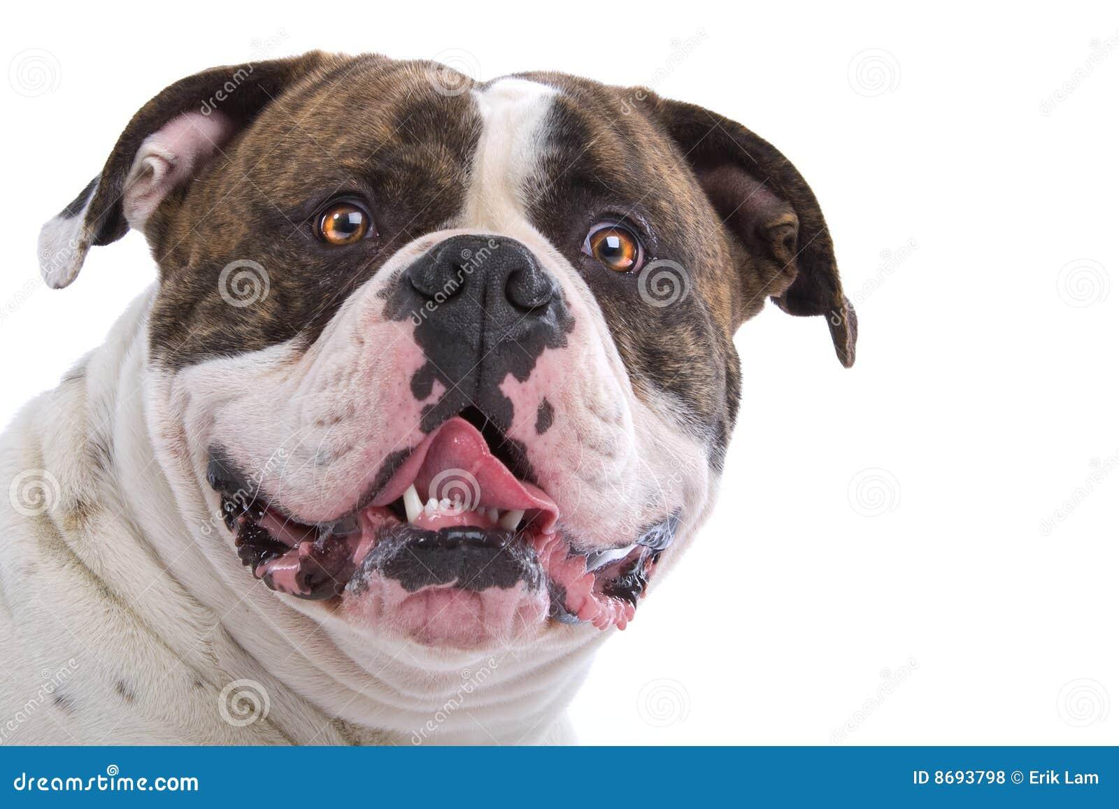 Amerikansk bulldogg