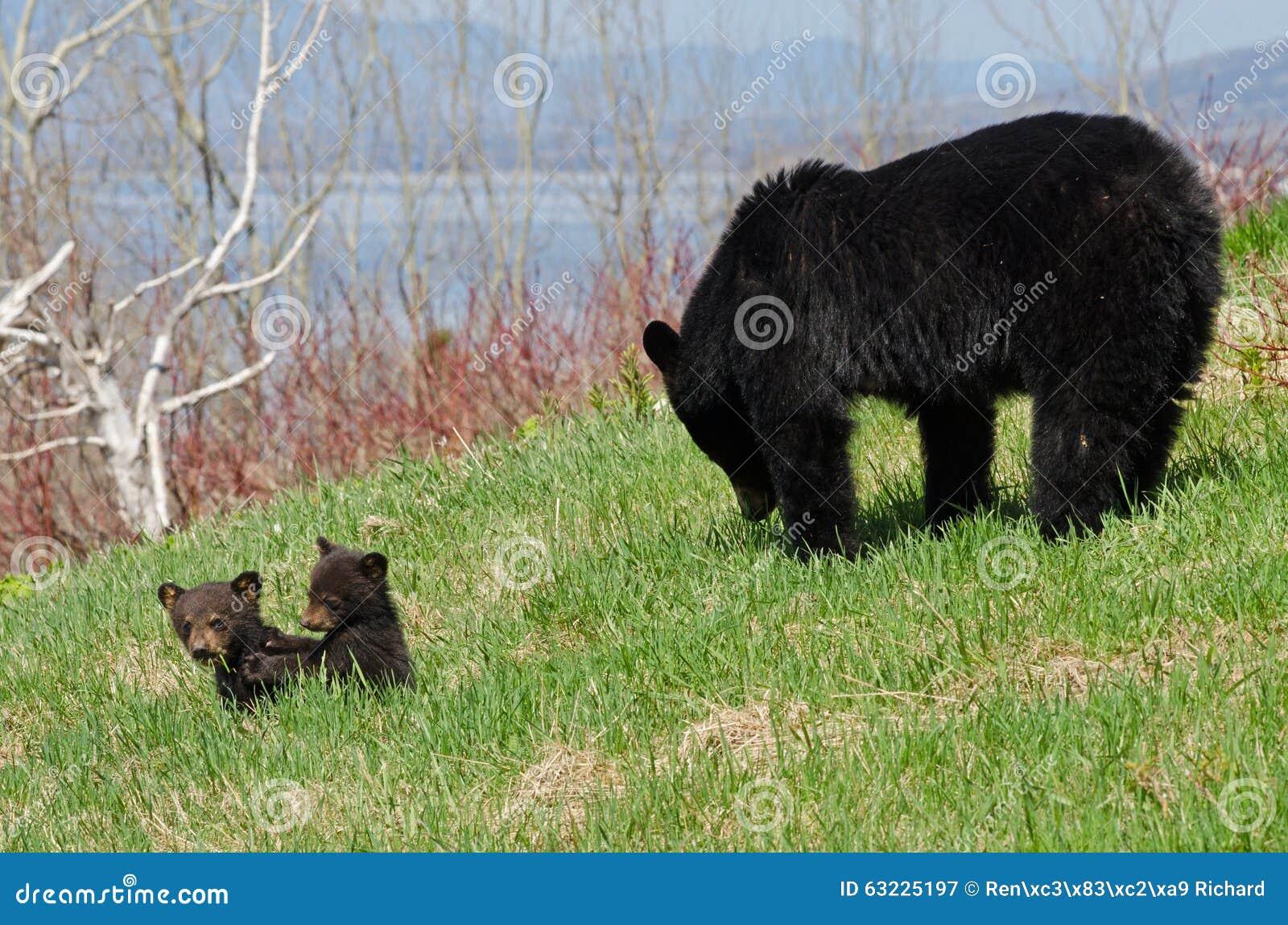 Amerikansk familj för svart björn