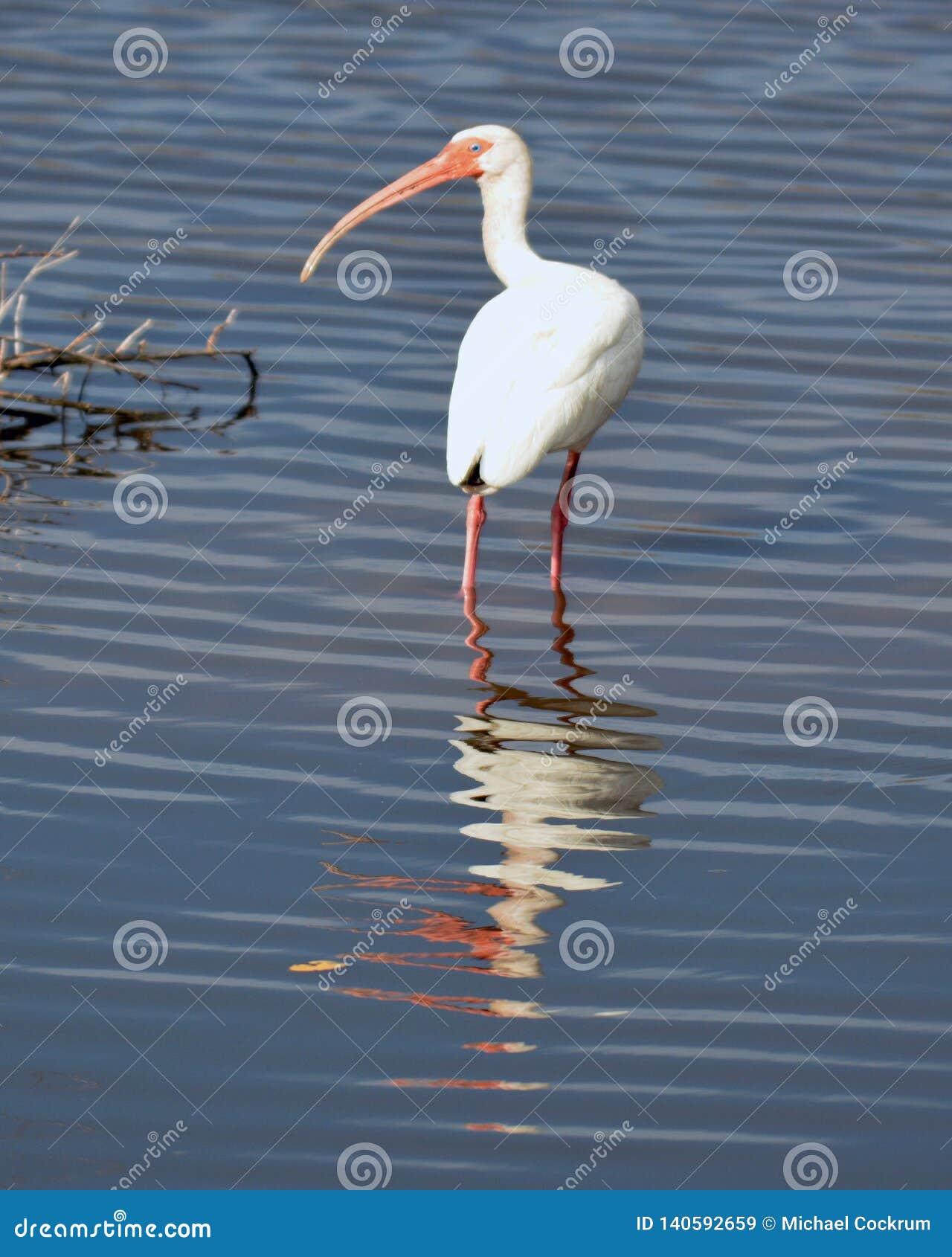 Amerikansk ibis som söker efter mat