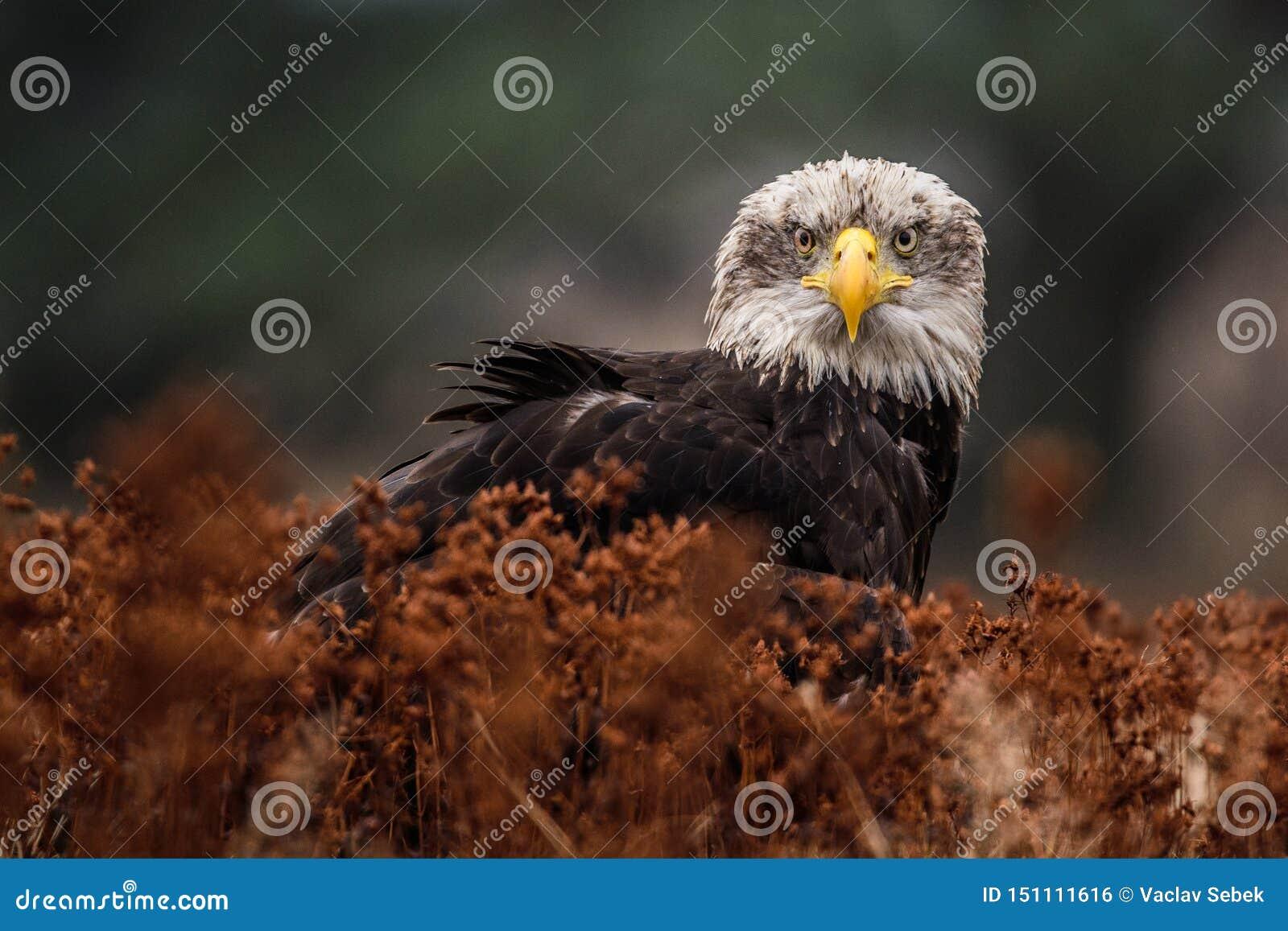 Amerikansk skallig örn som skjuta i höjden mot klar blå alaskabo himmel