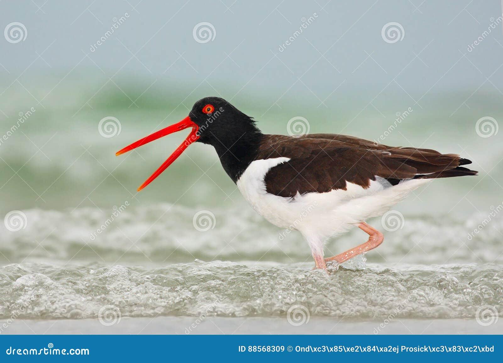 Amerikansk strandskata, Haematopuspalliatus, vattenfågel i vågen, med den öppna röda räkningen, Florida, USA