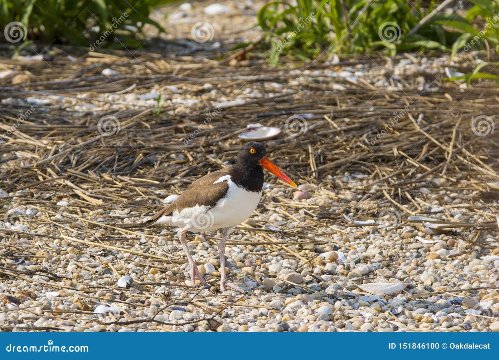 Amerikansk strandskata på skal och kiselstenar