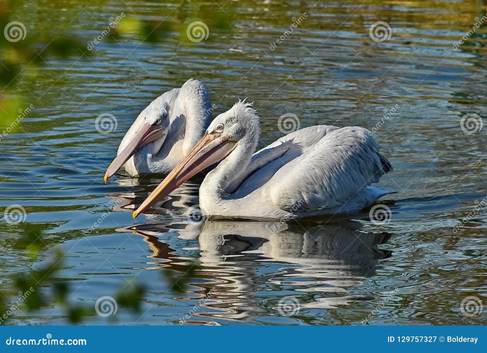 Amerikanska Pelecanuserythrorhynchos för vit pelikan Det föder upp i inre Nordamerika, flyttande söder och till kusterna