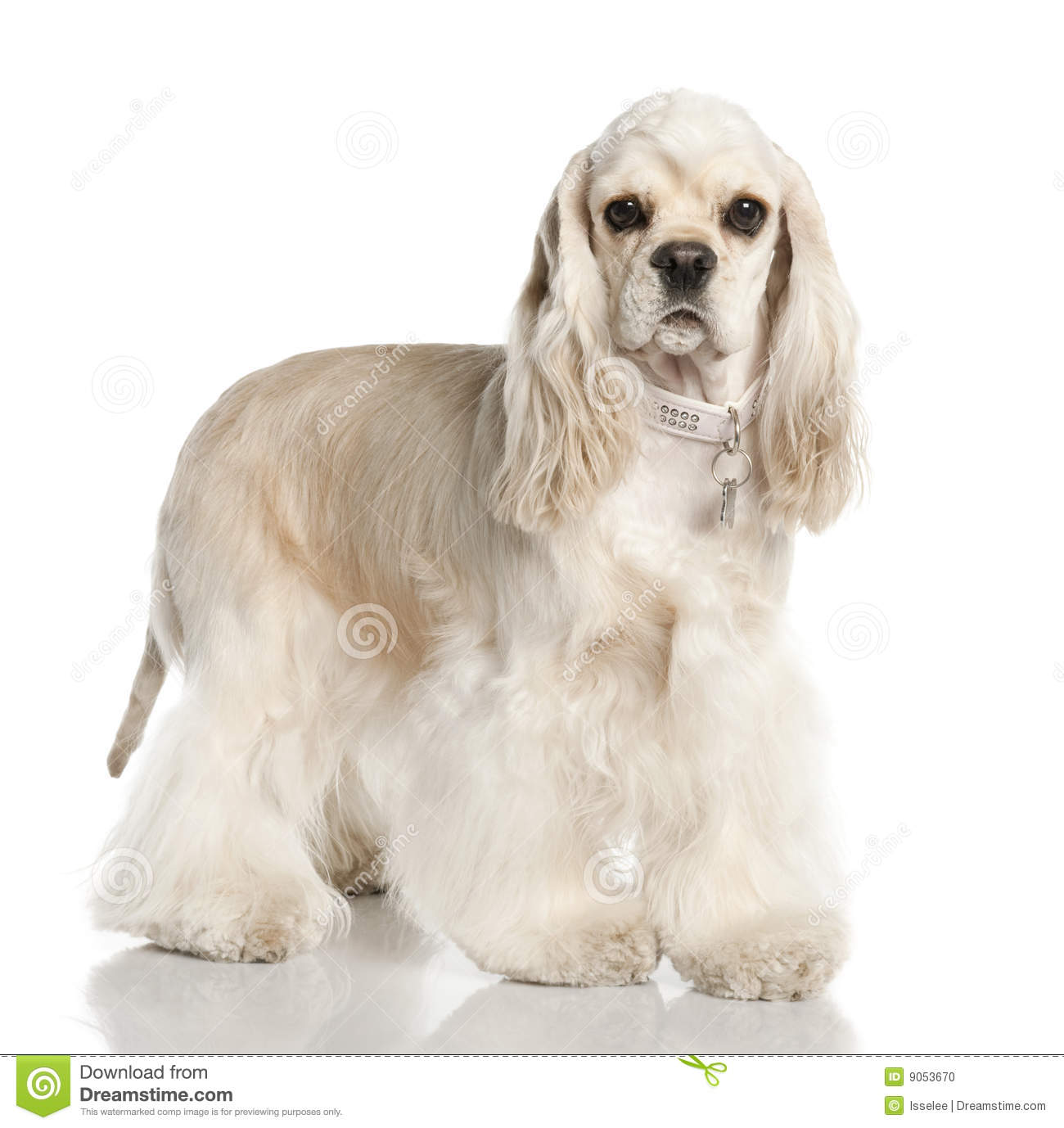Westie and schnauzer stock image. Image of comical, dogs - 8917651