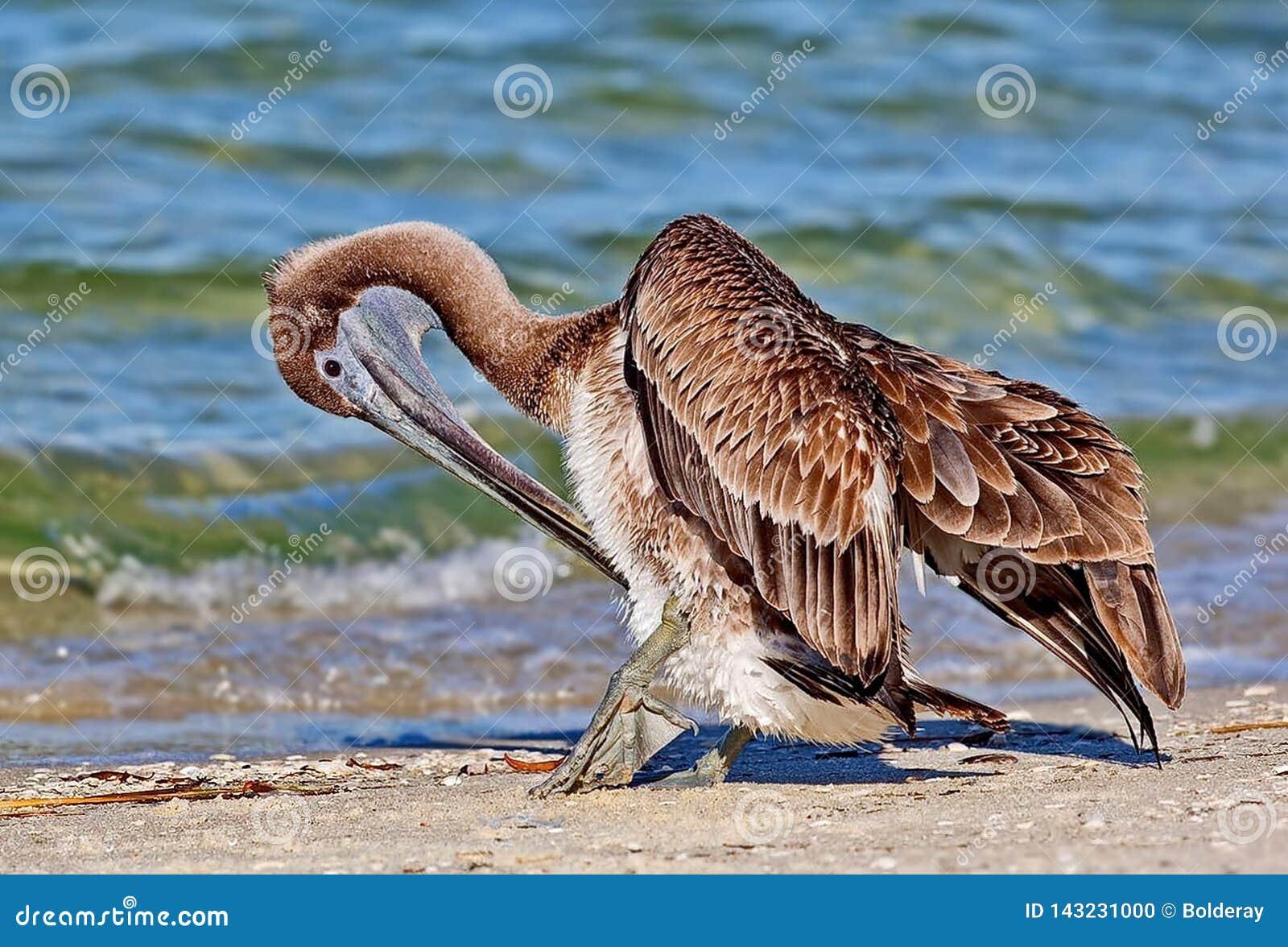 Amerykańscy brązu pelikana Pelecanus occidentalis są Północnoamerykańskim ptakiem pelikan rodzina Mały pelikany